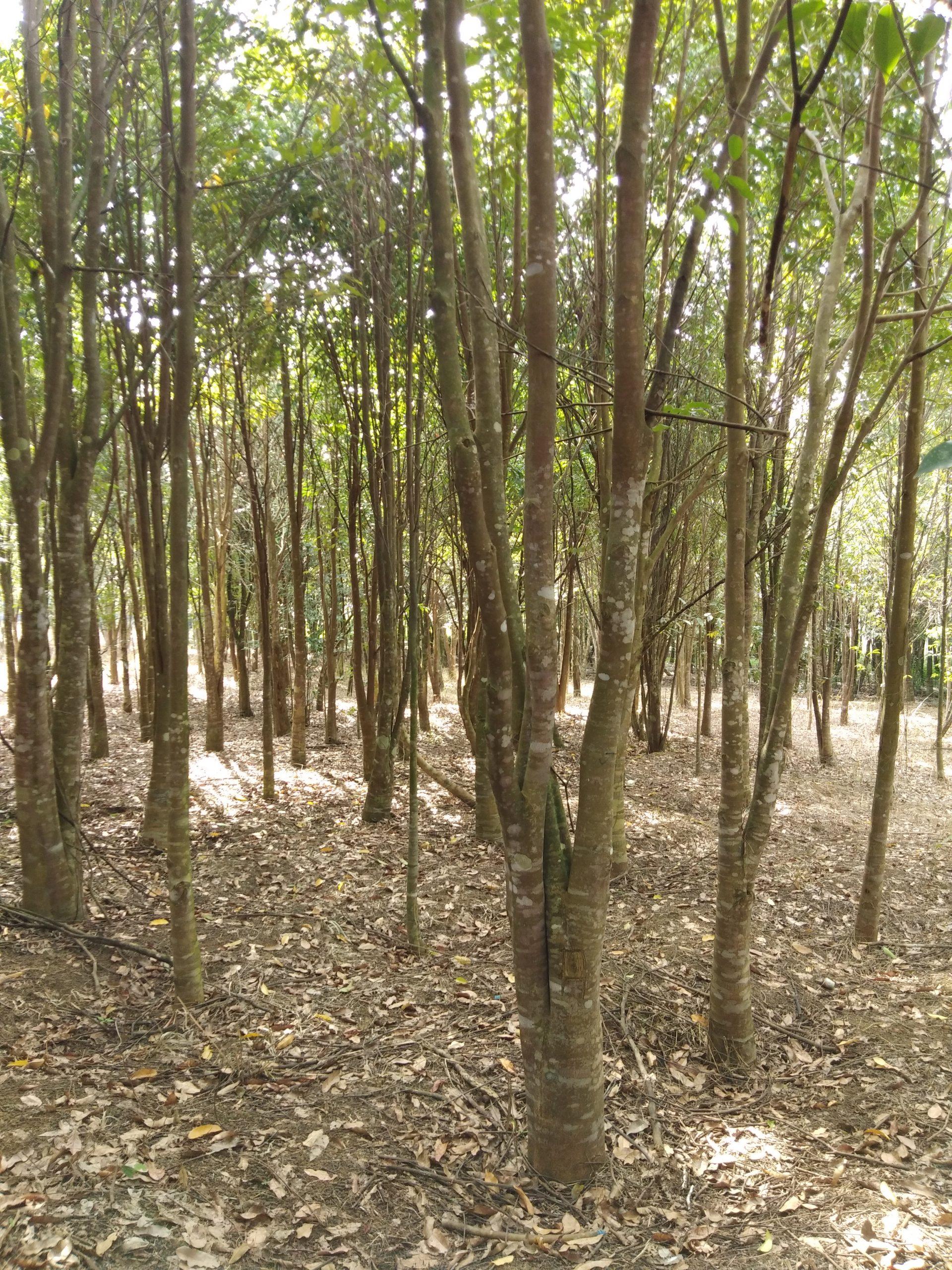 Ladang_Gaharu_MRSOL Setiawan Perak